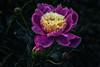 Purple II (anderswetterstam) Tags: flowers nature seasons spring floral botanical purple dark freshness fragility growth beginnings