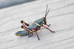 Grasshopper (Laura Erickson) Tags: grasshopper animals anhingatrail insects miamidade evergladesnationalpark places florida