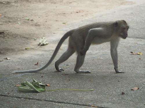 Crab-eating Macaque, Macaca fascicularis