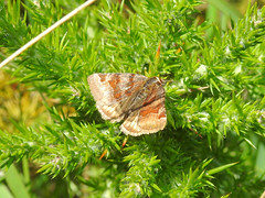 Burnet Companion Moth (Euclidia glyphica) (Nick Dobbs) Tags: insect moth euclidia glyphica burnet companion erebidae erebinae outdoor animal field dorset heath heathland meadow lowland