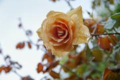 Rose on a rainy day (shinichiro*) Tags: 20180620sdim3820 2018 crazyshin sigmasdquattroh sdqh sigma1770mmf284dcmacrohsm june summer flower macro rose yokohama kanagawa japan jp