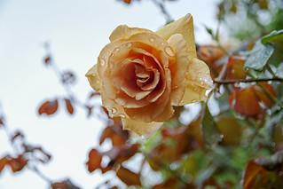 Rose on a rainy day
