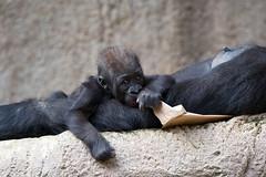 Sonnenschein (Mel.Rick) Tags: natur nature tiere animals mammals säugetiere primaten affen menschenaffen gorilla gorillababy westlicherflachlandgorilla zoo zooleipzig gorillagorillagorilla