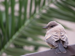 Young, tender Northern Mockingbird.  Hope all you dads had a nice Fathers Day weekend :-) (rebecca steelman) Tags: