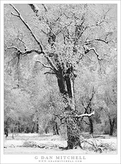Oak in Winter (G Dan Mitchell) Tags: yosemite valley national park late spring snow storm flurry meadow elcap blackandwhite monochrome landscape nature california usa north america
