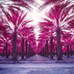 color infrared palms. mecca, ca. 2018. (eyetwist) Tags: eyetwistkevinballuff eyetwist mecca palms palmtrees vanishingpoint infinite california desert saltonsea mamiya 6mf 50mm kodak aerochrome infrared eir mamiya6mf mamiya50mmf4l kodakektachromecolorinfrared plantation rows order ca111 ishootfilm analog analogue film mamiya6 square 6x6 mediumformat 120 filmexif iconla epsonv750pro lenstagger ishootkodak sonorandesert dry bleak landscape roadsideamerica salton sea sand palm trees fronds american west date farm ranch vanishing point perspective geometric fruit harvest palmsprings 111 row thermal coachella agriculture magenta purple filter 099 infracolor orange ektachrome colorinfrared