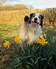 3/12 Barney Welcomes in Spring (meg price) Tags: ribbet 12monthsfordogs18 barney bordercollie wave spring cute hi