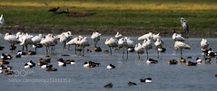 THE FAILED CONSENSUS. - by krmadhar (KevinBJensen) Tags: lake pond flock birds wading wader marsh standing water migratory flamingo grass waist deep dhanouri wetland