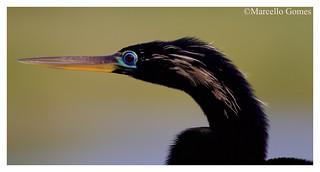 Anhinga (Anhinga anhinga) ANHI - Breeding Make up on (Best seen large)