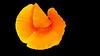raindrops in bloom - cup of gold    (Eschscholzia californica) (Jac Hardyy) Tags: raindrop bloom cup gold eschscholzia californica mohngewächse springtime nice beautiful california poppy blossom blossoms flower flowers orange yellow gelb drop drops papaveraceae frühjahr frühling kalifornischer mohn schön wunderbar blütenblatt blütenblätter petal petals schlafmützchen goldmohn kappenmohn regen regentropfen tropfen golden sunlight blüte blüten blume blooms