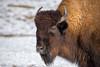 Bison (Andriy Golovnya (redscorp)) Tags: american bison americanbison amerikanischer amerikanischerbison waldbison munich münchen hellabrunn zoo bayern bavaria deutschland germany sunny cold day