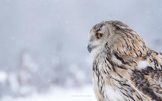 Western Siberian Eagle Owl - bubo bubo sibiricus - Vasil
