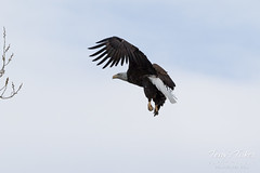 Female Bald Eagle stretches her wings - 20 of 30