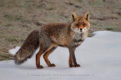 Fox looking at me (Joseba Alberdi Lizarazu) Tags: fox redfox azeria raposo zorro zorrorojo mammal wildlife basafauna mamífero ugaztuna vulpesvulpes canidae kitsune snow nieve elurra