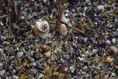 Where it Begins (brucetopher) Tags: tiny micro macro aquatic nursery ocean oceanfloor seabed sea saltwater clam clams shell shells clamshell purple pattern texture sand beach