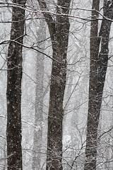 Three trees (cheryl.rose83) Tags: snow snowing snowstorm trees