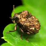 Warty Leaf Beetle thumbnail