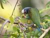 White-crowned Parrot (Pionus senilis) (Jorge Chinchilla A.) Tags: whitecrowned parrot pionus senilis sarapiquí heredia costarica américacentral jorgechinchilla avesdecostarica birds birdwatcher birdphoto neotropicalbirds ngc chucullo ticorainforest