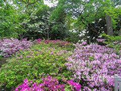 Spring at the Arboretum - 2018 (gttexas) Tags: 2018 arboretum azalea dallas dogwood tx texas flower usa