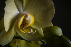 Macro Orchid In Yellow (Modkuse) Tags: orchid yellow macro flower macrolens macrophotography nikon nikondslr 105mmf28nikkormacro 105mm d100 nikond100