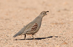 Gambel,s Quail female Elephant head pond az (mandokid1) Tags: canon canon500f4 1dx birds arizona