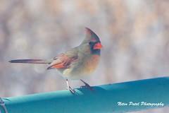 IMG_4004 (nitinpatel2) Tags: bird