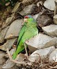 Lilac-crowned Parrot (tombenson76) Tags: shelterisland pointloma lilaccrownedparrot amazonafinschi