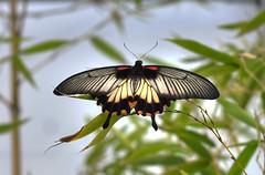 Farfalla 6 (Maurizio Belisario) Tags: farfalla butterfly ali volo fly animali insetti insect animals colours