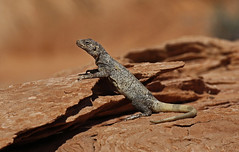 Chuckwalla (tomblandford) Tags: chuckwalla lizard largelizard arizonareptiles wildlifeofthewest conservation arizonawildlife protecttheenvironment protectpubliclands protectwildlife page