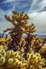 _DSC7384 (andrewlorenzlong) Tags: joshua tree national park joshuatree joshuatreepark joshuatreenationalpark california desert cholla chollas cactus garden chollacactusgarden