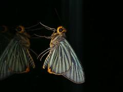 Pirdana distanti (dhobern) Tags: 2018 china lepidoptera march xtbg xishuangbanna yunnan hesperiidae pirdanadistanti