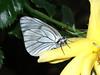 Aporia crataegi - Black-veined white - Боярышница (Cossus) Tags: 2009 aporia pieridae pierinae анциферово белянка