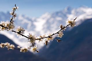 blooming on the Alps