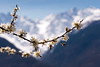 blooming on the Alps (apemarco) Tags: beekeeping alps blooming pollen bees mountains spring snow