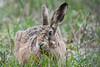 Brown Hare, Hare Warren Copse (Barbara Evans 7) Tags: brown hare warren copse hants uk barbara evans7