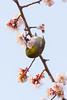 梅とメジロ / Plum Blossoms and White-eye (kimtetsu) Tags: 名古屋市 愛知県 日本 jp 梅 plum 鳥 bird メジロ whiteeye 春 spring 野生生物 wildlife