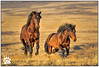 Wild Horses 021417-6532-H-W.jpg (RobsWildlife.com © TheVestGuy.com) Tags: utah naturewildlifeimages nature 021417 foal mare stallion wildhorses westdesert ©2017robswildlife horse horselover canon robsoutdoorphotography horsetours naturephotography robswildlifephototours robswildlifecom