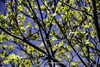 Dogwood Blossoms (Photographybyjw) Tags: dogwood blossoms against blue sky taken beautiful sunny day north carolina photographybyjw trees foliage rural country sun shine usa