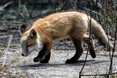 Prowl Practice: Red Fox Kit at Bombay Hook....6O3A8318A (dklaughman) Tags: redfox kit bombayhookwildliferefuge delaware