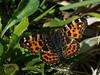 Araschnia levana f. levana - The Map (spring brood) - Пестрокрыльница изменчивая (весенняя форма) (Cossus) Tags: 2017 araschnia nymphalidae nymphalinae пестово