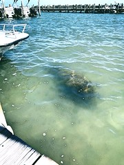 Manatee (carolynthepilot) Tags: worldtraveller worldtraveler carolynbistline carolynthepilot carolyn bistline vacation vacationdestination goldenwings getaway gulfofmexico interesting holiday honeymoondestination honeymoon heaven michael mike miamibeach miami silkstockings sea southbeach sky adventure amazing architecture awardwinningphoto carolynsworld flickrmindset flickrhivemindnet frommer flickmindset fl flickr southern south destination destinationgetaway dream digital photoshoot photographer photography picture tropical tranquil explore waterscape tealwater islandgetaway island bbc beautiful postcard postcards explorer bucketlist trekker trek roadtrip beach world traveller trip travel coastal coast westcoast