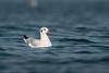 Floating serenely (Moving Iris) Tags: gull seagull birdphotography bird birding nature water nikond500 nikon nikkor nikkor200500vr