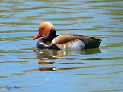 Pato Colorado (Luis_Amor) Tags: fauna ave elpratdellobregat catalunya españa es
