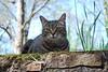 Camille with moss and tree (rootcrop54) Tags: camille female tabby striped stripes cat bluesky blue sky stone wall spring neko macska kedi 猫 kočka kissa γάτα köttur kucing gatto 고양이 kaķis katė katt katze katzen kot кошка mačka gatos maček kitteh chat ネコ