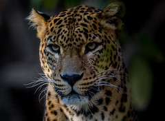 Hate the coats!!! (Pep Peñarroya) Tags: zoo barcelona catalunya catalonia leopard
