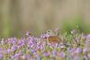 Linotte mélodieuse, Common Linnet (Flyingchicken31) Tags: oiseau mazères ariège linottemélodieuse domainedesoiseaux cardueliscannabina commonlinnet fringillidés passériformes bird