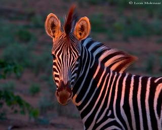 Zebra at sunrise