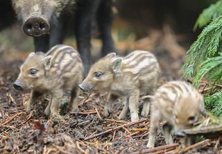 Wild Boar Humbug Sus scrofa 033-1