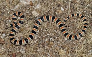 Colorado Desert Shovel-nosed Snake (Chionactis occipitalis annulata