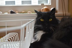 shell on the head (rootcrop54) Tags: batman tuxedo male funny shell hat kitchen window ledge neko macska kedi 猫 kočka kissa γάτα köttur kucing gatto 고양이 kaķis katė katt katze katzen kot кошка mačka gatos maček kitteh chat ネコ
